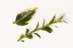 Buxus sempervirens саженцы