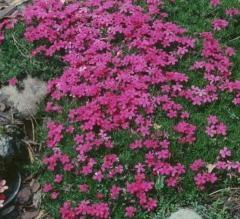 Phlox subulata Crackerjack