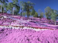Флокс рожевий Варієгата