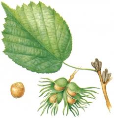 Ліщина деревоподібна
