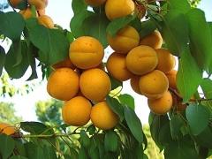 Prunus armeniaca Poleskiy krupnoplodniy