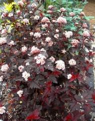 Пузыреплодник калинолистный Леди ин Ред<br>Пухироплідник калинолистий Леді ін Ред<br>Physocarpus opulifolius Lady in Red