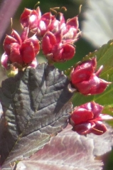 Пузыреплодник opulifolius Lady in Red