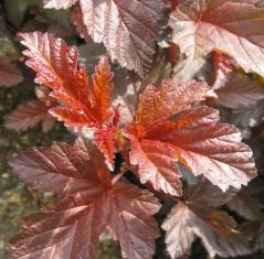 Physocarpus калинолистный Lady in Red