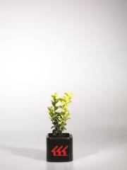Самшит вечнозелёный Marginata возраст 2 года