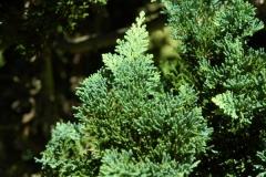 Chamaecyparis lawsoniana Wisselii