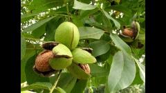 Грецкий орех сорта Мирослава