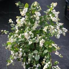Снежноягодник доренбоза Вайт Хедж<br>Сніжноягідник доренбоза Вайт Хедж<br>Symphoricarpus Doorenbosii White Hedge