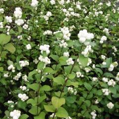 Symphoricarpus Doorenbosii White Hedge