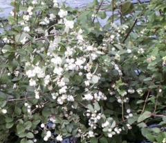 Symphoricarpus White Hedge