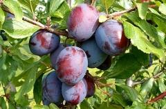 Prunus domestica Kardinal