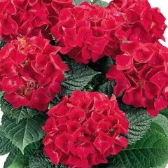 Гортензия крупнолистная Хот Ред<br>Гортензія великолиста Хот Ред<br>Hydrangea macrophylla Hot Red