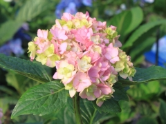 Hydrangea macrophylla You & Me Together