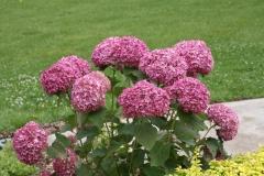 Hydrangea розовая Pink Annabelle
