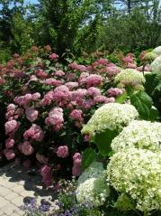Hydrangea Pink Annabelle