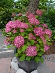 Гортензия arborescens Pink Annabelle