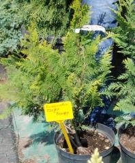 Кипарисовик лавсона Голден Вондер 4 года (сентябрь)