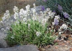 Лаванда узколистная Нана Альба<br>Лаванда вузьколиста Нана Альба<br>Lavandula angustifolia Nana Alba