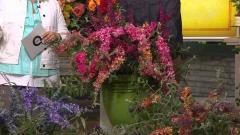 Буддлея давида Flower Power