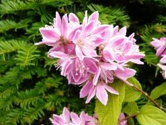 Deutzia hybrida