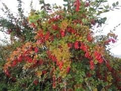 Барбарис обыкновенный съедобный<br>Барбарис звичайний їстівний<br>Berberis vulgaris