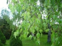 Береза повислая Далекарлийская<br>Береза повисла Далекарлійська<br>Betula pendula Dalecarlica