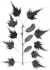 Betula Dalecarlica