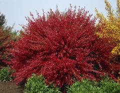Ракитник ранний Боскоп Руби (рубиновий)<br>Рокитник ранній Боскоп Рубі (рубіновий)<br>Cytisus praecox Boskoop Ruby (ruby)