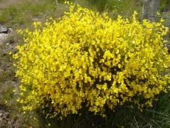 Рокитник жовтий Олголд