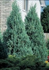 Juniperus scopulorum Moonglow