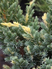Juniperus squamata Golden Flame