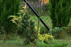 Juniperus squamata