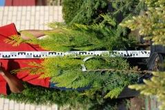 Кипарисовик лавсона Ивонне 5лет (сентябрь)