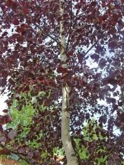 Betula плакучая Royal Frost