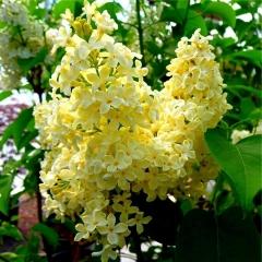 Сирень обыкновенная Примроуз<br>Бузок звичайний Примроуз<br>Syringa vulgaris Primrose