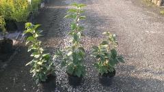 Сирень vulgaris Primrose