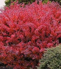 Барбарис червонолистий Ред Діджей