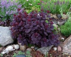 Скумпия пурпурная Лилла