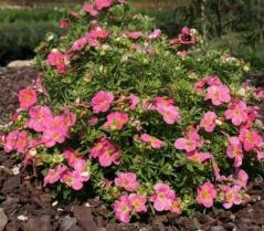 Лапчатка кустарниковая Пинк Парадайз<br>Лапчатка кущова Пінк Парадайз<br>Potentilla fruticosa Pink Paradise