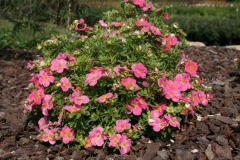 Potentilla fruticosa Pink Paradise