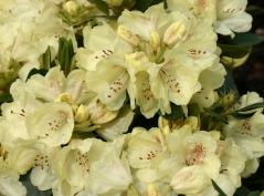 Рододендрон Голдкрон (желтый)<br>Rhododendron Goldkrone<br>Рододендрон Голдкрон (жовтий)