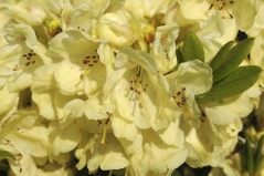 Рододендрон Голдкрон жолтий