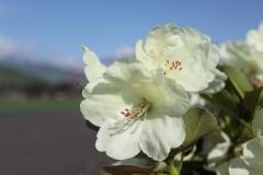 Рододендрон Голдкрон квітка