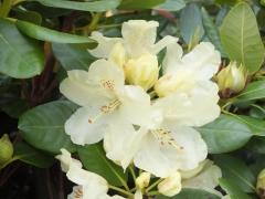 Рододендрон Голдкрон квітка крупним планом