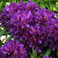 Рододендрон гибридный Марсель Менард<br>Рододендрон гібридний Марсель Менард<br>Rhododendron Marcel Menard