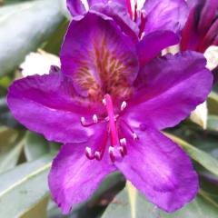Рододендрон Марсель квітка крупним планом