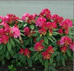 Рододендрон Фантастика<br>Rhododendron Fantastica