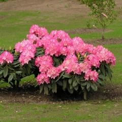 Rhododendron Fantastica