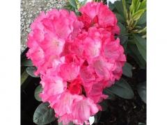 Рододендрон Фантастика цвети