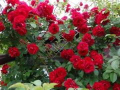 Роза красная Амадеус